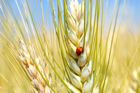 barilla champ de blé