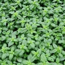 champ de basilic Barilla feuilles